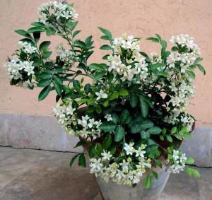 Муррайя метельчатая, Муррайя Экзотика (Murraya paniculata)