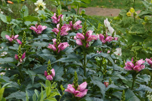 Хелоне Розовый фламинго, Хелоне косая (Chelone obliqua)