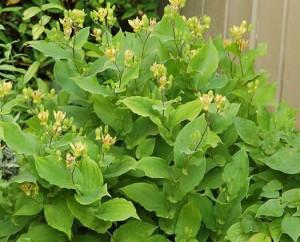 Трициртис широколистный (Tricyrtis latifolia)