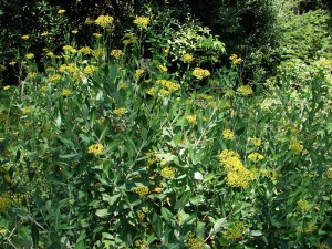 Володушка Китайская, Володушка серповидная, Буплерум (Bupleurum Chinense, Bupleurum falcatum)