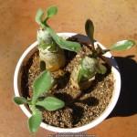 Тилекодон метельчатый (Tylecodon paniculata, син. Cotyledon paniculatus)
