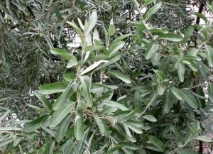 Лох зонтичный, Акигуми, дикая маслина  (Elaeagnus umbellata)
