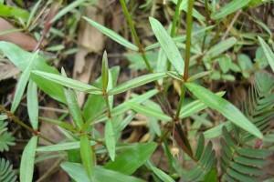 Олденландия диффузная, Гедиотис (Oldenlandia diffusa, Hedyotis)