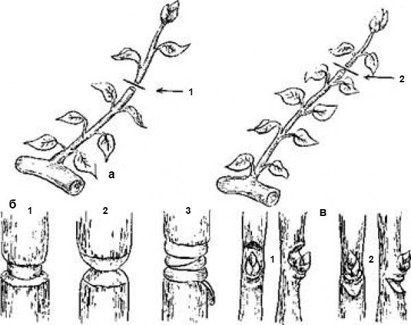 Методы ускорения плодоношения деревьев