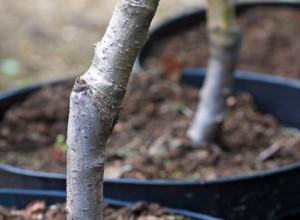 Ускорение плодоношения деревьев