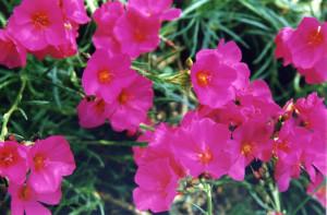 Каландриния зонтичная,Calandrinia umbellata, Calandrinia, Red maids, Talinum umbella, Rock purslane, Montiopsis umbellata