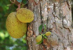 Хлебное дерево, или Джекфрут (Artocarpus heterophyllu)
