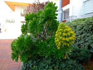 Эониум золотистый (Aeonium arboretum var. holochrysum)