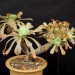 Эониум канарский (Aeonium canariense)