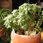 Эониум Линдлея (Aeonium lindleyi)