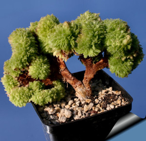 Эониум слоевидный (Aeonium tabuliforme)