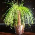 Изолепис изящный, или Изолепис поникший, Изолепис карликовый (Isolepis cernuas)