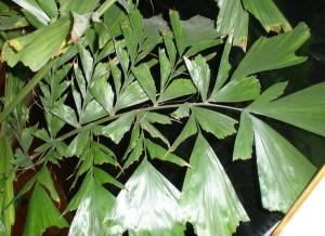 Кариота, Пальма Рыбий хвост (Caryota ochlandra)