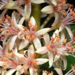 Аденантера павлинья, или Красный сандал (Adenanthera pavonina)