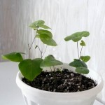 Диоскорея слоновая, Слоновая нога (Dioscorea elephantipes)