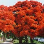 Делоникс королевский, или Огненное дерево (Delonix regia)