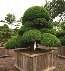 Тис ягодный, или Тисс ягодный, зеленица, негниючка, негной, красное дерево (Taxus baccata)