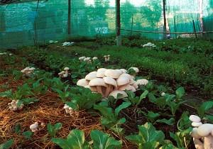 Купить мицелий Шампиньон белый (Agaricus bisporus)