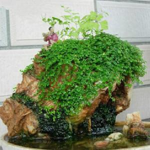 "Трифолиум ""Rockery Grass"", или Sheung-шуй, Любовь трава (Trifolium Rockery Grass)"
