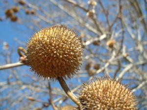 Купить семена, растение - Платан восточный, или Чинар, Чинара (Platanus orientalis)