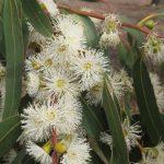 Купить семена, растение - Эвкалипт прутовидный (Eucalyptus viminalis)