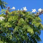 Купить семена, растение - Радермахера китайская (Radermachera sinica)