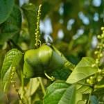 Купить семена, растение - Плукенетия вьющаяся (Plukenetia volubilis), Инка Инчи (Inca Inchi) или Сача Инчи (Sacha Inchi), Инский арахис, орех Инков