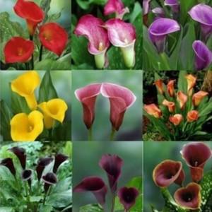 """Купить семена, растение - Калла """"Mix color"""""""