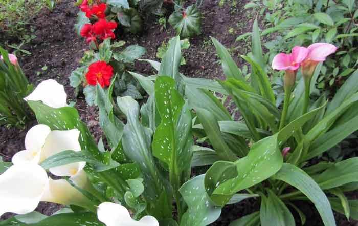 Каллы в садовом дизайне