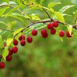 Купить семена, растение - Принсепия, Плоскосемянник, колючая вишня,Prinsepia sinensis, Prinsepia, Принсепия китайская, Плоскосемянник китайский