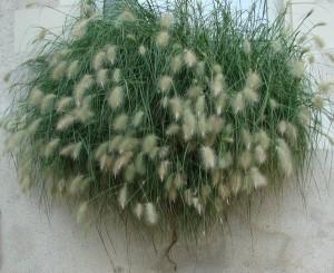 Пеннисетум мохнатый, Перистощетинник волосистый, Пеннисетум волосистый, Перистощетинник мохнатый (Pennisetum villosum, Pennisetum longistylum)