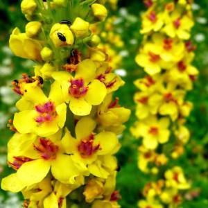 Купить семена, растение - Коровяк обыкновенный, или Медвежье ухо, Царский Скипетр (Verbascum thapsus)