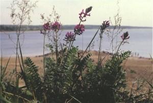 Купить семена, растение - Эспарцет песчаный, Эспарцет днепровский, Эспарцет донской (Onobrychis arenaria)