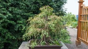 Купить семена, растение - Болотный кипарис, Таксодий, Таксодиум двурядный, Лысый кипарис (Taxodium distichum)
