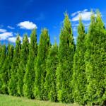 Купить семена, растение - Кипарис вечнозелёный пирамидальный, или Кипарисс колоновидный (Cupressus sempervirens)