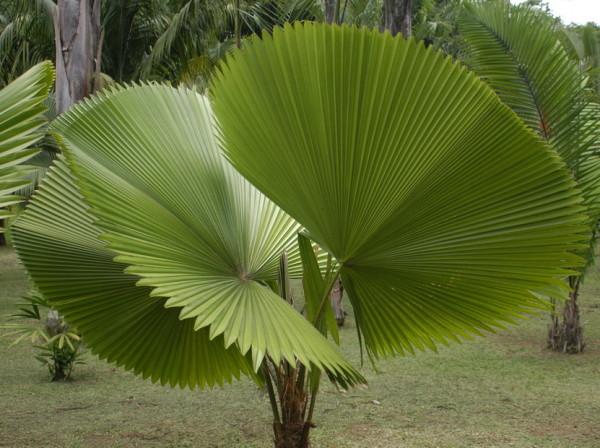 Купить семена, растение - Ликуала округлая, веерная пальма, пальма парасолька,пальма зонтик,Licuala orbicularis