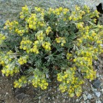 Полынь однолетняя (Artemisia annua)