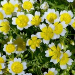 Купить семена, растение - Лимнантес Дугласа, Limnanthes douglasii, Limnanthes bakeri, Limnanthes douglasii , Limnanthes macounii, Limnanthes vinculans, poached egg plant, Douglas' meadowfoam