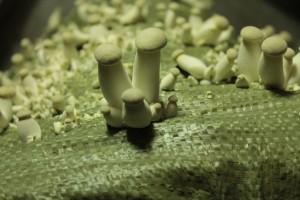 Купить мицелий Вешенка королевская, степная, «Боровик древесный», степной «белый гриб», еринги (Pleurotus eryngii)