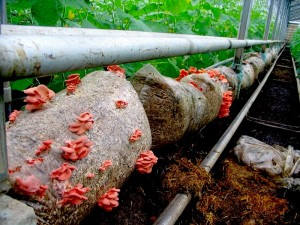 Купить мицелий Вешенка розовая (Pleurotus djamor)
