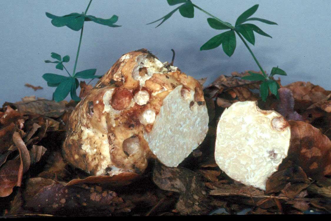 Купить мицелий Трюфель белый (Tuber magnatum)
