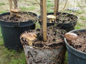 Купить мицелий Масленок обыкновенный (Suillus luteus)