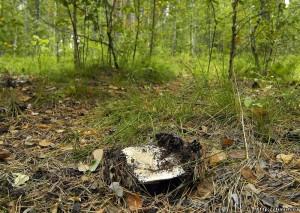 Купить мицелий Груздь настоящий (Lactarius resimus)