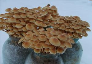Купить мицелий Опёнок зимний (Flammulina velutipes)