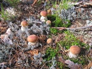 Купить мицелий Подосиновик (Leccinum aurantiacum)