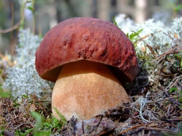 Купить мицелий Белый гриб сосновый, боровик (Boletus pinophilus)