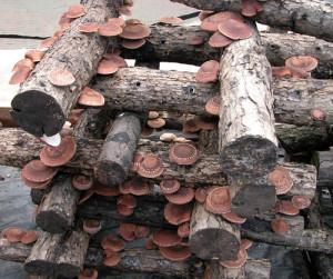 Купить мицелий Шиитаке летний, сиитаке, лентинула съедобная, японский лесной гриб (Lentinula edodes)