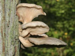 Купить мицелий Вёшенка рожковидная, вёшенка обильная (Pleurotus cornucopiae)