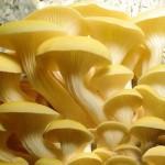 Купить мицелий Вёшенка золотая, или лимонная, ильмовик, ильмак (Pleurotus citrinopileatus)