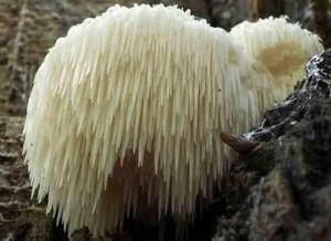 Купить мицелий Львиная грива, Ежевик гребенчатый, Ежовик гребенчатый, Гериций (герициум) гребенчатый, Грибная лапша, Дедова борода, гриб Пом-Пом, Pom-Pom blanc, обезьянья голова, хоутоугу, ямабушитаке (Hericium erinaceus)